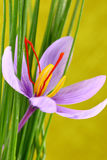 Close up of saffron flowers Stock Photography