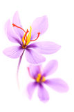 Close up of saffron flowers Royalty Free Stock Photography