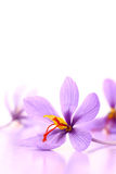 Close up of saffron flowers Royalty Free Stock Image