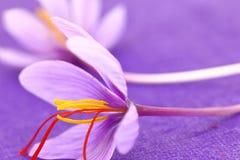 Close up of saffron flowers Stock Images