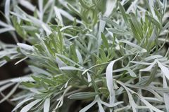 Close-up on sage plant used in medicine. Background Texture royalty free stock photography