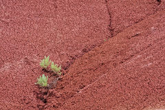 Close up of sagebrush in crevice of red claystone. Clay stone mound, it`s red texture a contrasting background to a sagebrush growing in it`s crevice Royalty Free Stock Image
