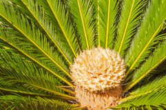 Close up of Sago Palm Stock Photography