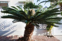 Close up Sago Palm Tree Outside the House. Close up Old Sago Palm Tree Growing Outside the House Stock Image