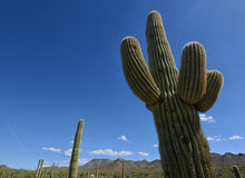 Close up of saguaro cactus in arizona desert Stock Photography