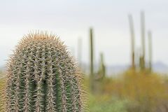 Close up of a Saguaro Cactus with Copy Space Stock Photography
