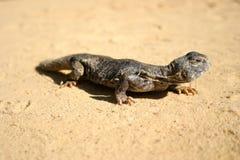 Close up of a saharan lizard reptile stock photo