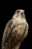 Close-up Saker Falcon, Falco cherrug, isolated on Black background Stock Photo