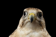 Close-up Saker Falcon, Falco cherrug, isolated on Black background Stock Images