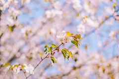 Close up sakura bloom, cherry blossom, cherry tree on a blurred blue sky background royalty free stock photography
