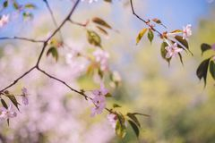 Close up sakura bloom, cherry blossom, cherry tree on a blurred green tree and blue sky background stock photo