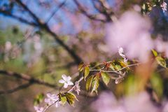 Close up sakura bloom, cherry blossom, cherry tree on a blurred green tree and blue sky background stock image