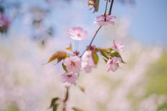 Close up sakura bloom, cherry blossom, cherry tree on a blurred green tree and blue sky background royalty free stock images