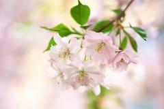 Close up of Sakura flowers Stock Photos