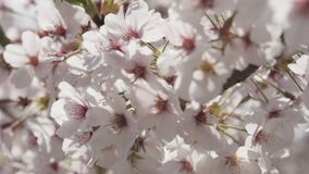 Close up sakura flowers with sunlight spring