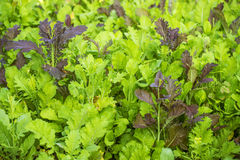 Close up Salad planting in a organic garden Royalty Free Stock Image
