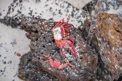 Close up of sally Lightfoot crab Grapsus grapsus on black volcanic rock. In Galapagos Island stock photo