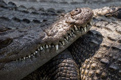 Close up of saltwater crocodile mouth and teeth Royalty Free Stock Images