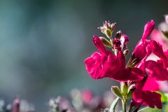 Autumn sage in bloom royalty free stock photography