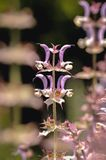 Clary sage perennial. Close up on a Salvia sclarea commonly called clary sage stock photography