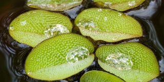 Close up of Salvinia natans. Close up of the patterned hairy leaves of the aquatic Salvinia natans plant Royalty Free Stock Photography