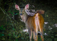 Close up of Sambar (Rusa unicolor) Stock Images