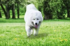 Close up on Samoyed dog running on the grass Royalty Free Stock Image