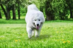 Close up on Samoyed dog running on the grass, Drawing stock image