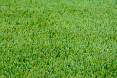Close-up sample of winter Ryegrass lawn with perfectly trimmed, Royalty Free Stock Photo