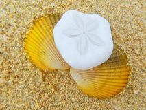 Sand dollar and shell lying on the beach Royalty Free Stock Images