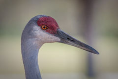 Close up of sandhill crane head and beak Stock Photos