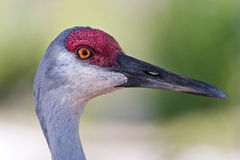 Close up of sandhill crane in profile Royalty Free Stock Photos