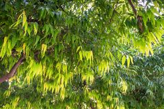 Close up of Saraca asoca or ashoka tree. Close up leaves of Saraca asoca or ashoka tree in India. Buddha was born under this tree stock photo