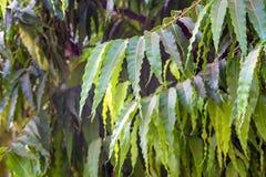 Close up of Saraca asoca or ashoka tree Stock Photography