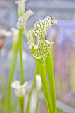 Close up of sarracenia leucophylla raf Royalty Free Stock Photography