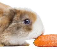 Close-up of a Satin Mini Lop rabbit eating a carrot, isolated Stock Photography