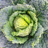 Close-up of Savoy cabbage Royalty Free Stock Photography