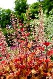 Close up on Saxifragaceae. Heuchera. Marmalade. stock photos