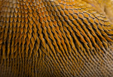 Close-up of scales on Lawson's dragon Stock Image