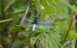 Scarce Chaser Blue Dragonfly From Behind. A close up of a scarce chaser dragonfly from behind with wings outstretched Stock Photos