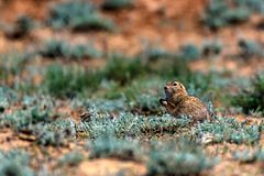 Little ground squirrel or Spermophilus pygmaeus. Close up scared little ground squirrel or Spermophilus pygmaeus in steppe royalty free stock images