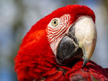 Close up of a scarlet macaw (ara macao) Royalty Free Stock Photography