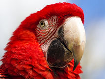 Close up of a scarlet macaw (ara macao) Stock Photo