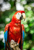 Close up of scarlet macaw parrot Stock Images