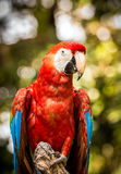 Close up of scarlet macaw parrot Stock Image