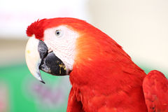 Close up scarlet macaw Royalty Free Stock Images