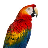 Close-up of a Scarlet Macaw (4 years old) Royalty Free Stock Images