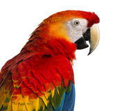Close-up of a Scarlet Macaw (4 years old) Stock Photo