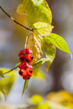 Close-up of scenic of beautiful vivid red berries, colorful autumn colors, fall background. Fall has come, real beauty Royalty Free Stock Images