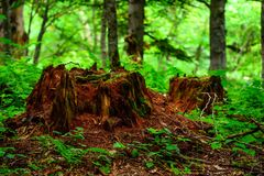 Stump with moss in the forest Royalty Free Stock Images